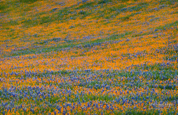 Poppies and lupines, Figueroa Mountain, Los Padres NF, CA, USA