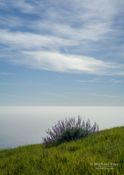 Lupines above the Pacific Ocean, Big Sur coast, CA, USA