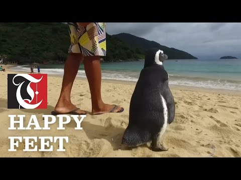 This grateful penguin visits the man who saved him every year