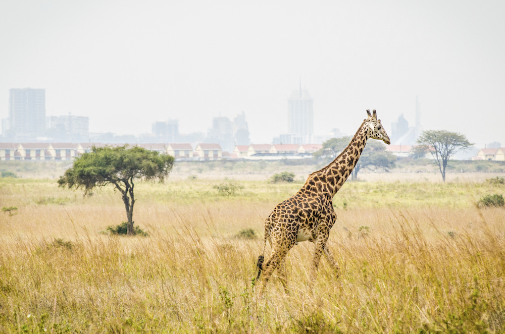 """A giraffe runs through the bush in Nairobi National Park. The city of Nairobi, Kenya is clearly visible in the background. This clearly demonstrates, how close the """"wilds"""" of Africa are to even its most urban inhabitants."""
