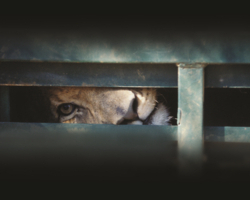 SA told to end canned lion hunting